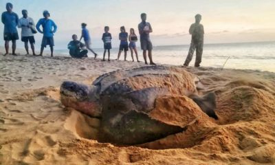 Another leatherback sea turtle lays eggs in Phang Nga | The Thaiger
