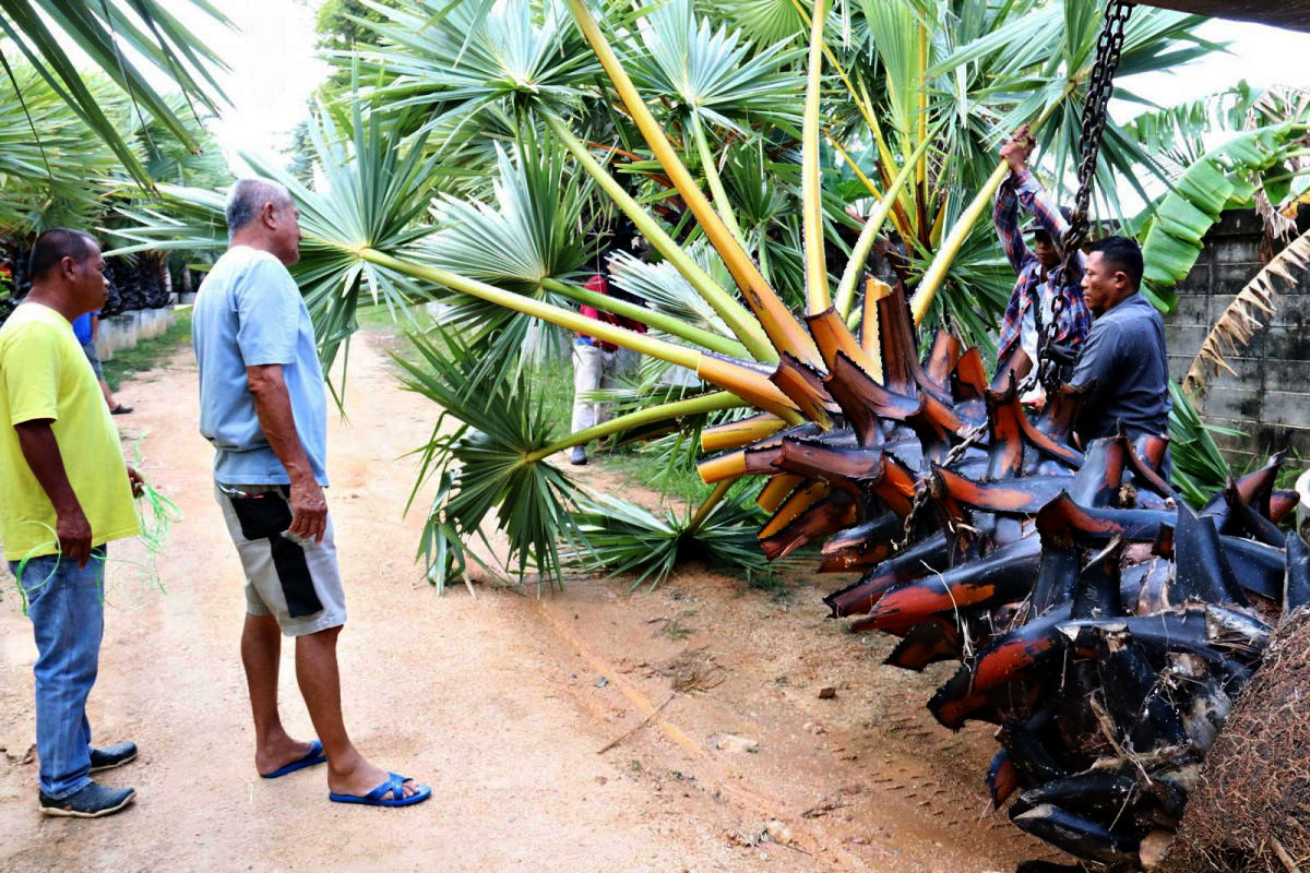 More palms on the way for Phuket's Promthep Cape | News by Thaiger