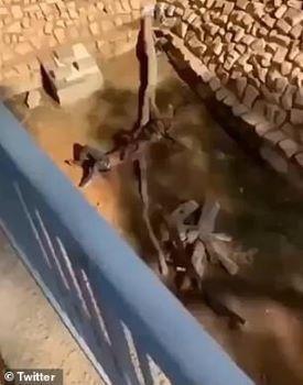 Hãi hùng cảnh tượng nam thanh niên ngã xuống chuồng hổ và bị hổ vồ lấy   News by Thaiger
