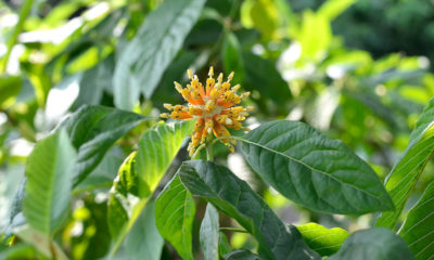 Kratom leaves to be declassified as a narcotic | Thaiger