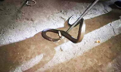 Chon Buri resident finds large king cobra in home | Thaiger