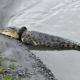 Indonesian authorities offer reward for getting tyre off crocodile | Thaiger