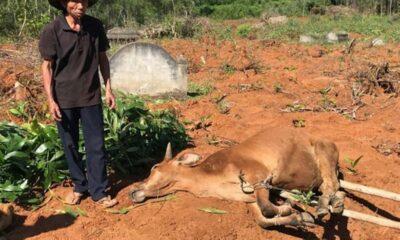 Quảng Ngãi: Người nuôi lo lắng vì bò chết trước Tết | The Thaiger