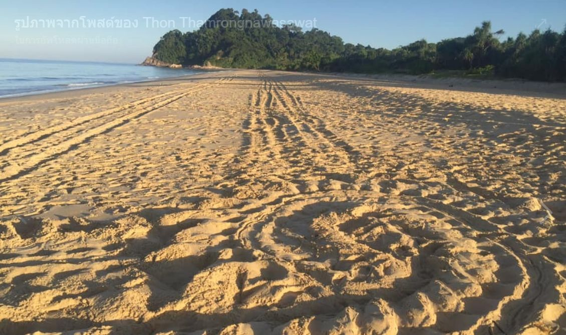 Turtle egg thieves raid a leatherback turtle nest in Phang-nga | News by The Thaiger