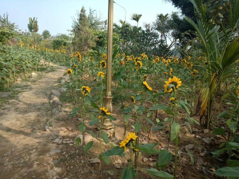 Vườn hoa hướng dương độc nhất vô nhị ở xứ Thanh   News by Thaiger