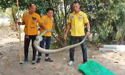 20 kilogram python caught after dog gives warning in Sri Racha | Thaiger