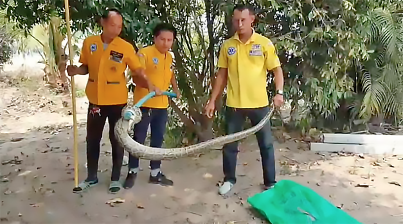 20 kilogram python caught after dog gives warning in Sri Racha