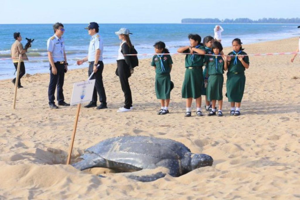 Rare leatherback turtle lays eggs in Phuket's Mai Khao   News by Thaiger