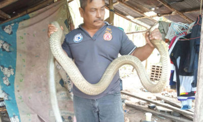Man comes face to face with 5-metre king cobra while in bed | The Thaiger