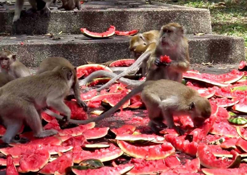 No monkeying around: coronavirus fears mean monkeys in the South are going hungry | The Thaiger