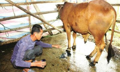 Quảng Ngãi: Dịch lở mồm long móng bùng phát | The Thaiger