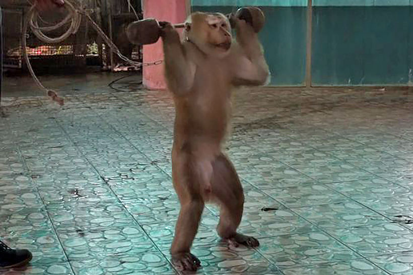 Nong Nong forced to lift weights and perform for tourists at a Phuket zoo - VIDEO | News by Thaiger