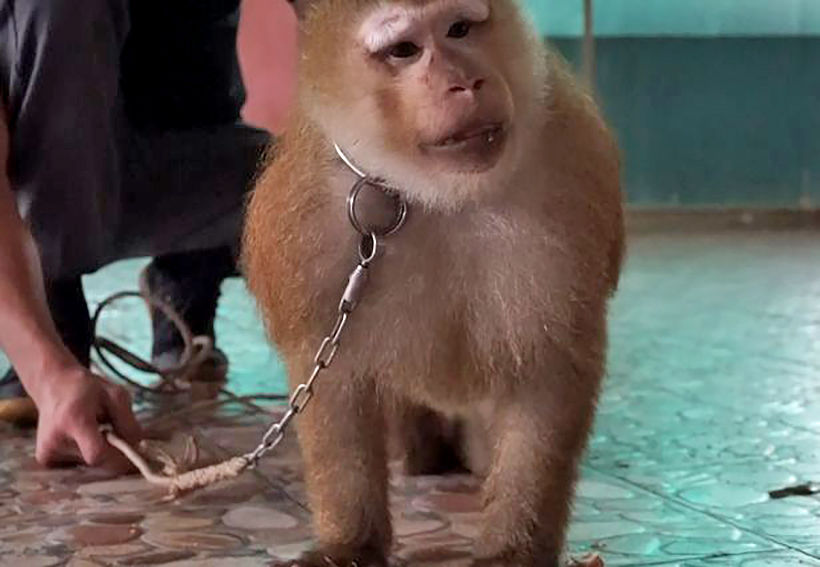Nong Nong forced to lift weights and perform for tourists at a Phuket zoo – VIDEO | Thaiger