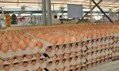 Chicken eggs will not run out in Thailand | The Thaiger