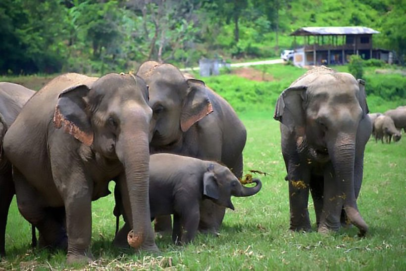 Thousands laid off, millions of baht lost as Chiang Mai elephant camps close | News by Thaiger