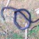 Hà Tĩnh: Người đàn ông bị rắn hổ mang cắn tử vong | The Thaiger