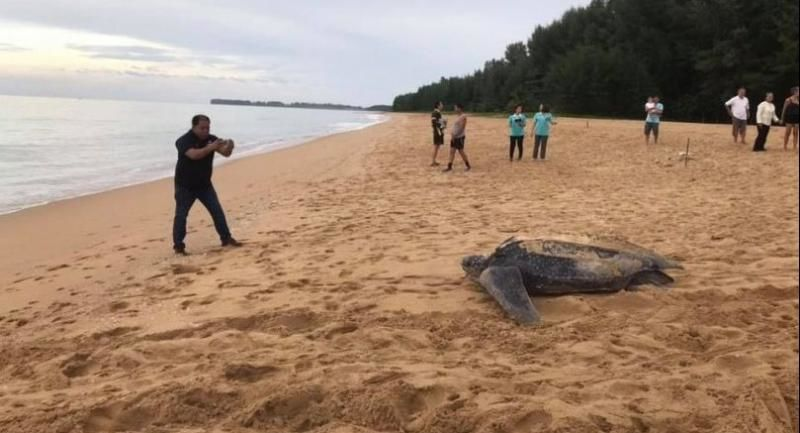 Leatherback turtles return to Phuket and Phang Nga coastlines   News by Thaiger