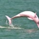 Rare pink dolphins spotted off Koh Phangan – VIDEO | The Thaiger