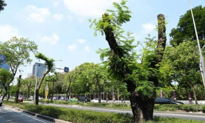 Bangkok authorities under fire for over-zealous tree pruning | The Thaiger