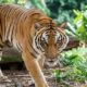 Tiger kills, eats man in Nakhon Ratchasima | The Thaiger