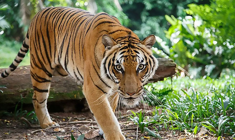 Tiger kills, eats man in Nakhon Ratchasima | Thaiger