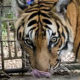 UPDATE: Phuket Zoo animals left abandoned and starving – VIDEO | The Thaiger
