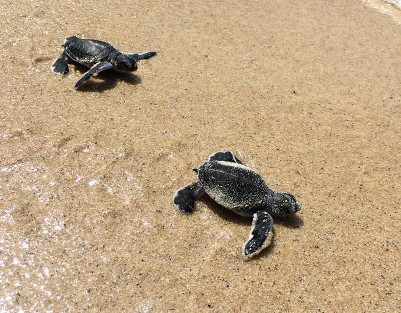 200 baby turtles born at beach in front of Banyan Tree Samui | News by Thaiger