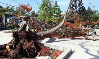 Đắk Lắk: Cây phượng cổ thụ cao 10m bật gốc, đổ rạp giữa sân trường | Thaiger