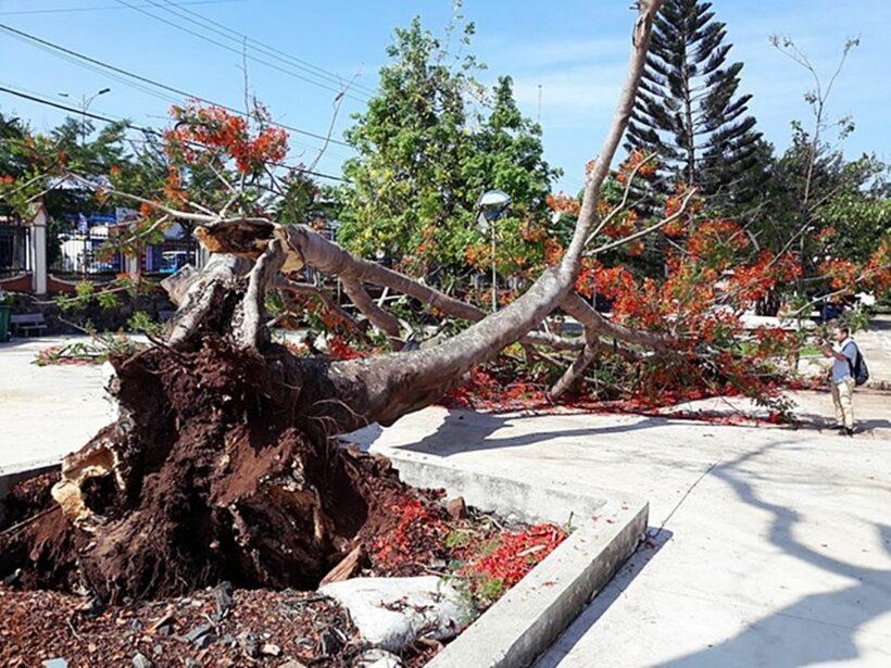 Đắk Lắk: Cây phượng cổ thụ cao 10m bật gốc, đổ rạp giữa sân trường | The Thaiger