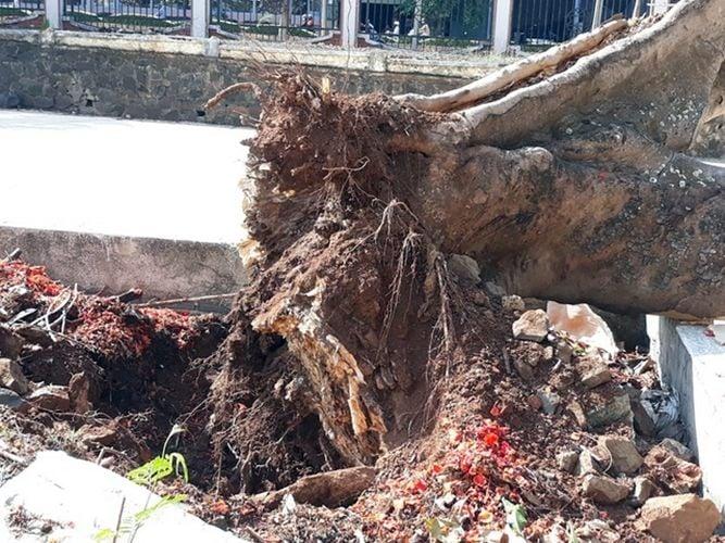 Đắk Lắk: Cây phượng cổ thụ cao 10m bật gốc, đổ rạp giữa sân trường | News by The Thaiger