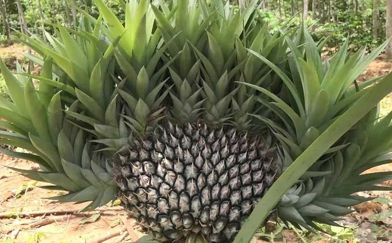 Strange pineapple tree worshipped by plantation owner in Songkhla | News by The Thaiger