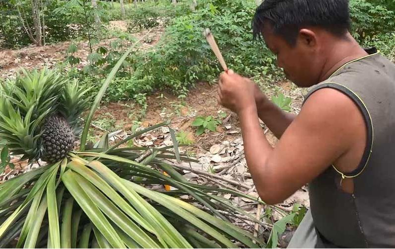 Strange pineapple tree worshipped by plantation owner in Songkhla   News by Thaiger