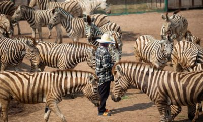African horse sickness: Imported zebras need health check and quarantine | The Thaiger