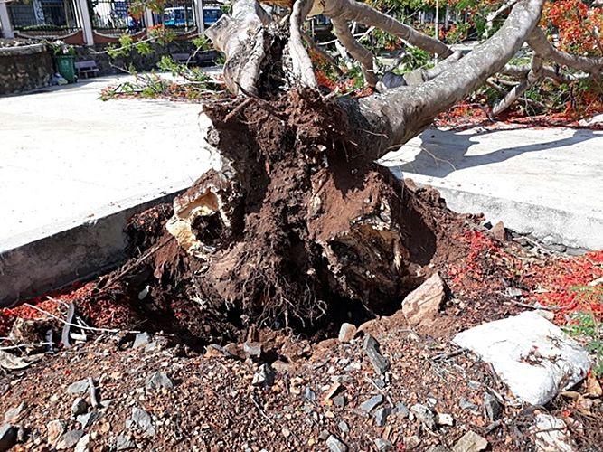 Đắk Lắk: Cây phượng cổ thụ cao 10m bật gốc, đổ rạp giữa sân trường   News by Thaiger