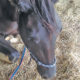 African Horse Sickness spreads in the north east, death toll passes 500 | Thaiger