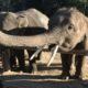 Unemployed elephants: Some return to the wild, others sent to work in logging business | The Thaiger