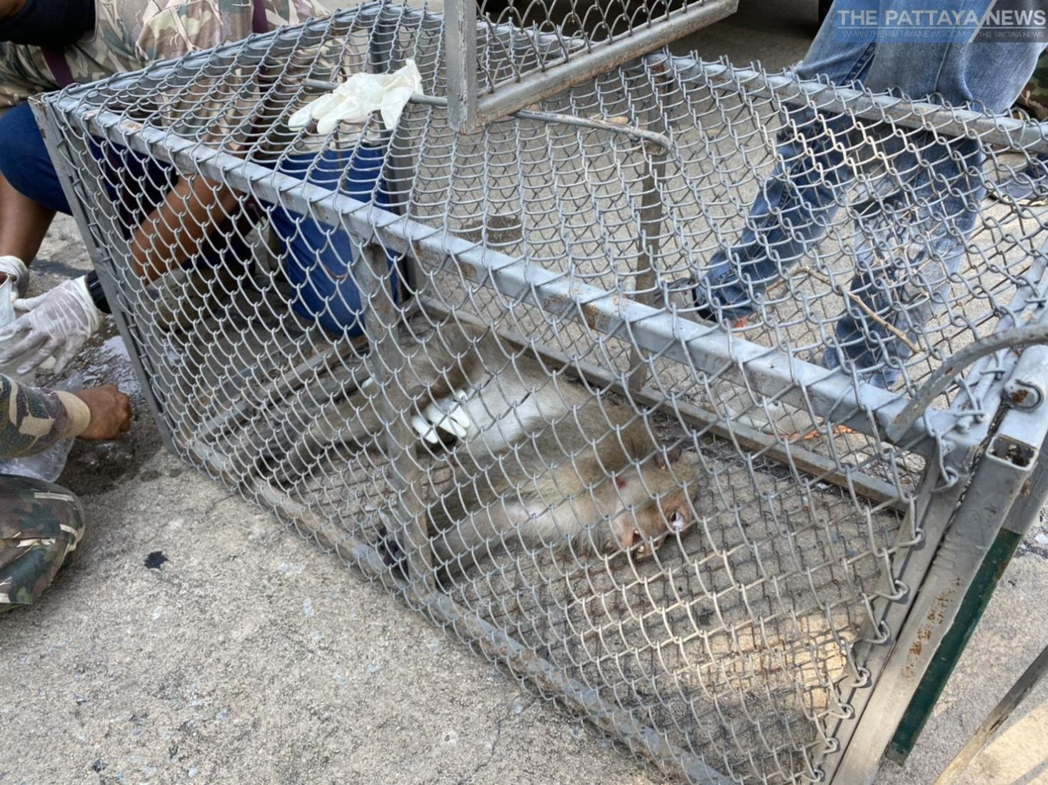 Thieving monkey safely caught in Chon Buri   News by Thaiger
