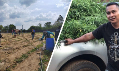 Man arrested for growing 1,200 cannabis plants | The Thaiger