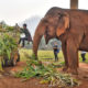 Unemployed elephants in Thailand's north trek home | The Thaiger