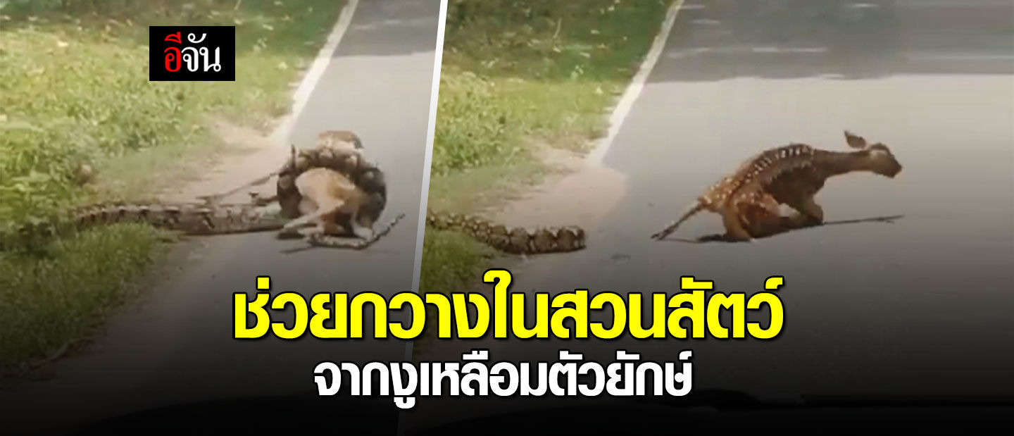 Netizens in uproar after man saves deer from python in Chon Buri – VIDEO | The Thaiger