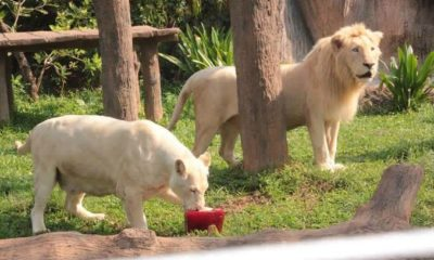 Zoo animals eat frozen treats to chill out in high heat | The Thaiger