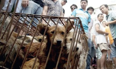 China's dog-meat festival opens for another year | Thaiger