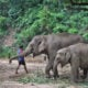 Massive elephant migration causes problems in the North | The Thaiger