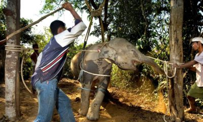 "Baby elephants abused to ""break"" them for tourism- VIDEO 
