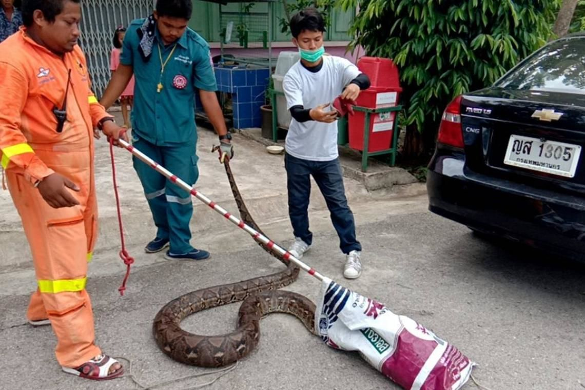4 metre python caught after eating school's pets | The Thaiger