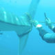 Injured whale shark looks for help from divers – VIDEO | Thaiger