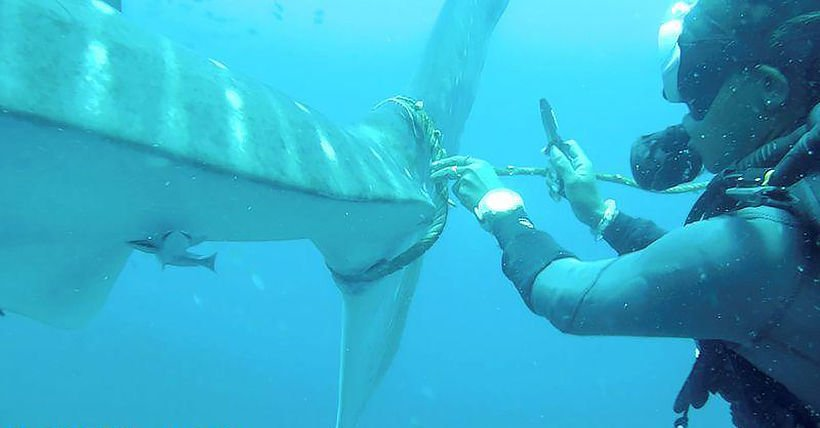 Injured whale shark looks for help from divers – VIDEO | The Thaiger