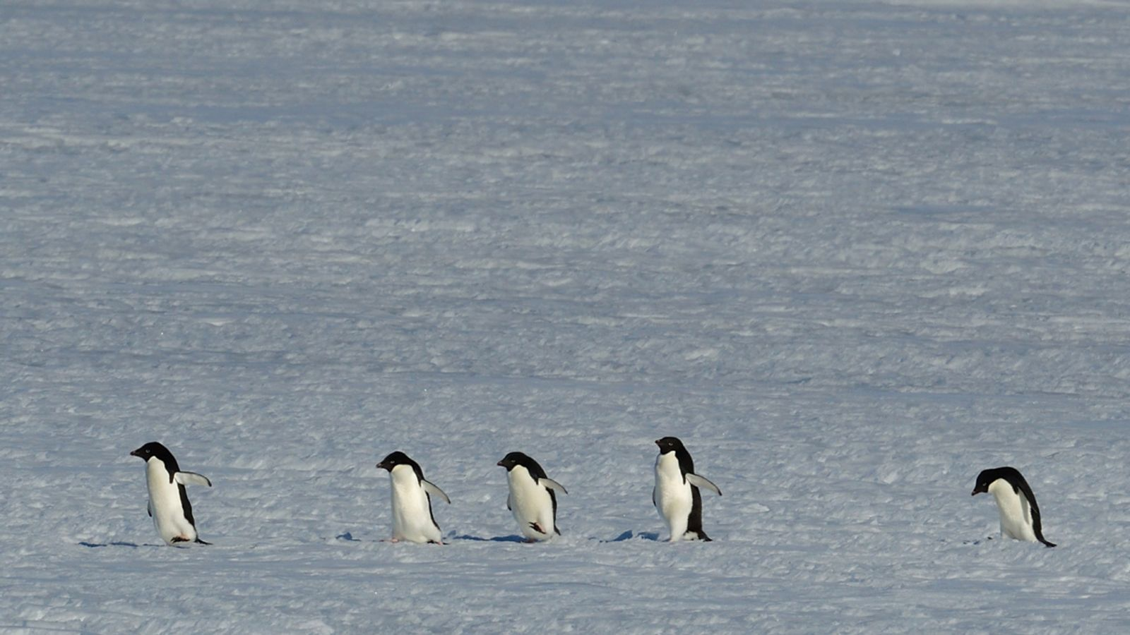 Antarctic penguins thrive around less icy waters   News by Thaiger