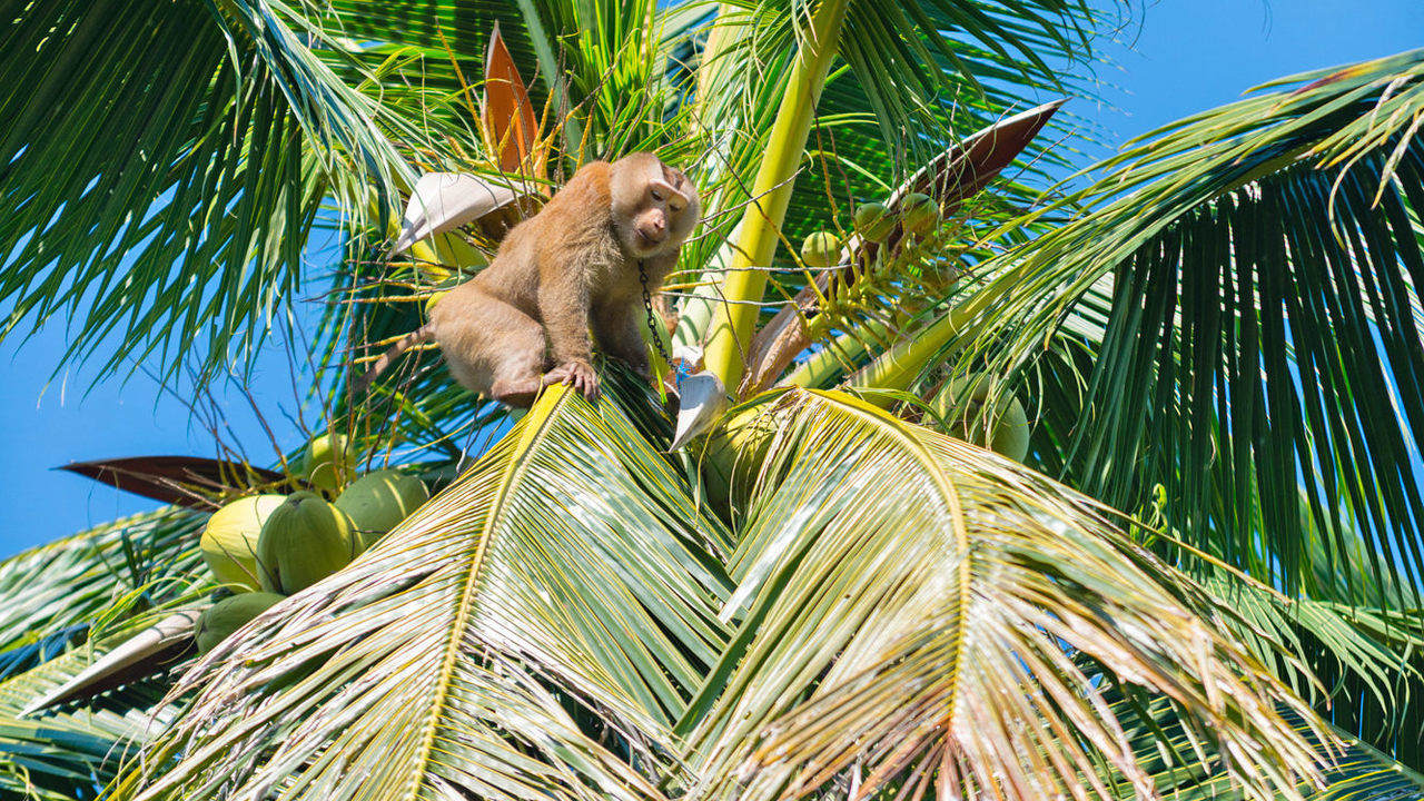 """""""Come and see"""" – Ministry invites diplomats to see coconut-picking monkeys in action 