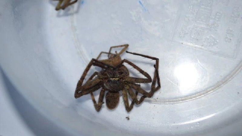 8 year old Krabi girl bitten by spider, likely venomous | News by Thaiger